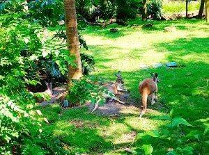 DAK_Kangaroos